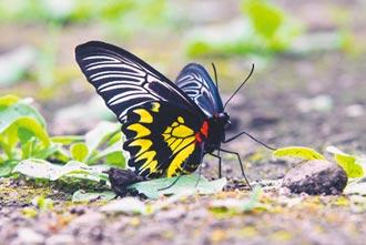 蘭嶼種馬兜鈴 復育瀕危珠光鳳蝶
