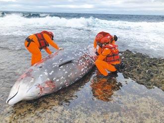 蘭嶼5米鯨豚擱淺死亡