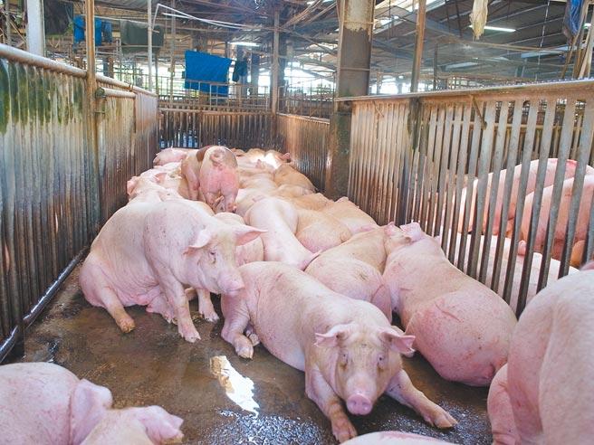 進口豬肉業者李春來認為,目前台灣還不會有吃到萊豬的問題,因為光是運輸時間,最快也要3、4個月後,萊豬才會抵台。(圖為台灣豬示意圖,資料照/張朝欣攝)