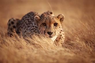 獵豹初遇美洲獅掀恐怖對決?兩隻大貓互動出乎意料