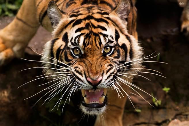 西伯利亞虎身長可達3公尺,是亞洲最大虎種。(示意圖/達志影像)