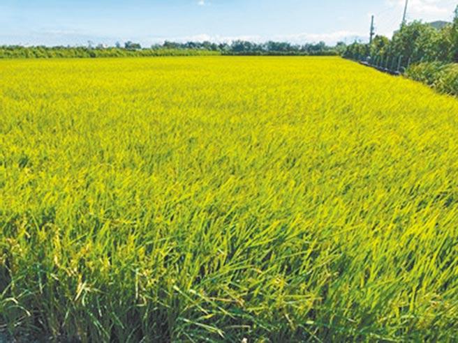 為鼓勵稻農轉作其他作物,農委會推出稻作4選3措施,稻農於4個期作中,最多可選擇3個期作交公糧或領稻作直接給付。(新竹市府提供/邱立雅竹市傳真)