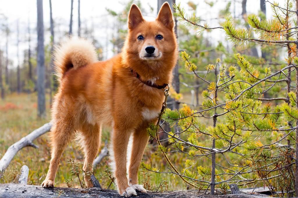 紐西蘭一隻芬蘭狐狸犬總是喜歡擺出「大法師」的姿勢回頭看主人。(示意圖/達志影像)