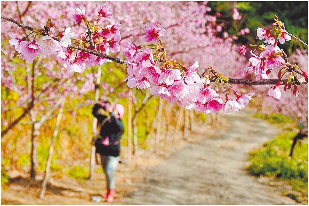 三峽區賞櫻景點大熊櫻花林去年春季櫻花盛開美景。(三峽大熊櫻花林提供/蔡雯如新北傳真)