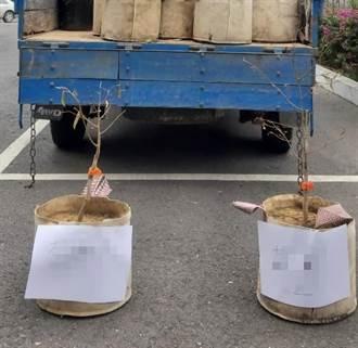 不會種樹猛偷樹苗 2株珍貴馬來西亞榴槤險遭竊賊「種死」