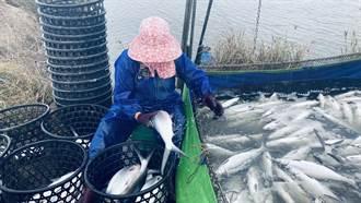 連日低溫 嘉義泰國蝦暴斃 文蛤池混養工作魚凍傷