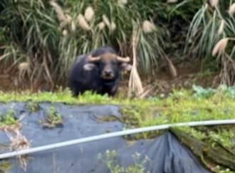 急凍陽明山 擎天崗野牛避寒大逃亡 下山闖菜園踩「山豬吊」受困