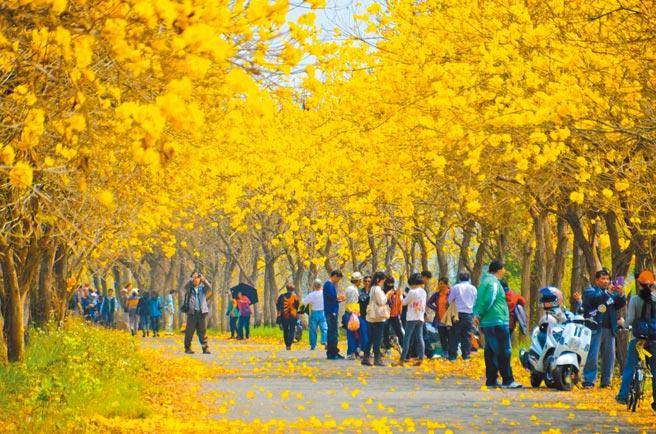 嘉義縣太保市朴子溪堤防道路兩旁、綿延1公里多的黃花風鈴木,絕美花況讓祕境成了眾所皆知的大花園。(本報資料照片)
