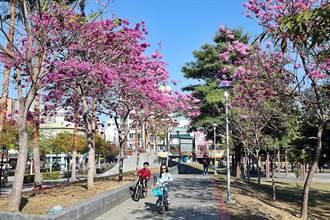 嘉義市迎來風鈴木 文化公園紅紛綻放