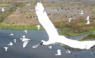 寒冬候鳥季珍鳥出沒 濁水溪出海口鳥況精采