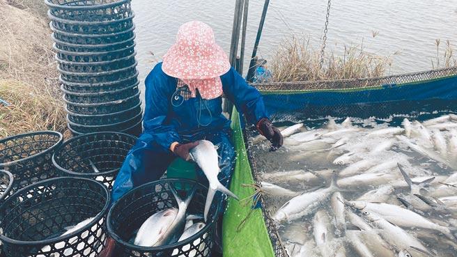 嘉義縣漁民搶收凍傷的虱目魚。(嘉義縣政府提供/張毓翎嘉義傳真)