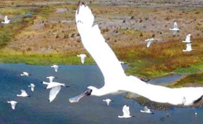 寒冬鳥況精采,水利署第四河川局在記錄濁水溪出海口揚塵防制成效,空拍機意外拍到大批黑面琵鷺在空中飛翔。(第四河川局提供/張朝欣雲林傳真)