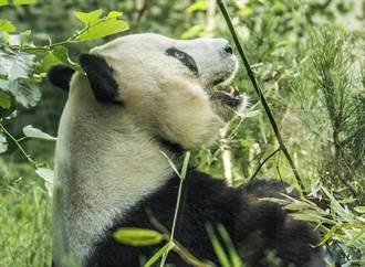 一年租金3890萬!愛丁堡動物園沒錢了 大貓熊陽光、甜甜被迫回國