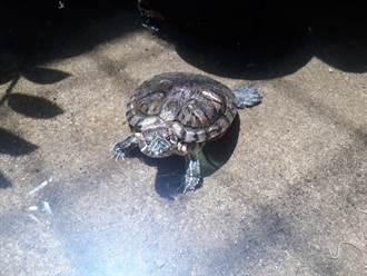 巴西龜慘遭高處狠砸!鮮血濺地嚇壞民眾