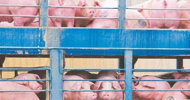 對於台灣豬外銷造成價格波動的說法,朱學恒計算相關數據後忍不住直言,豬價的數學怎麼那麼好?圖為運抵新北市肉品市場等待屠宰的台灣活體豬。(圖/中國時報黃世麒攝)