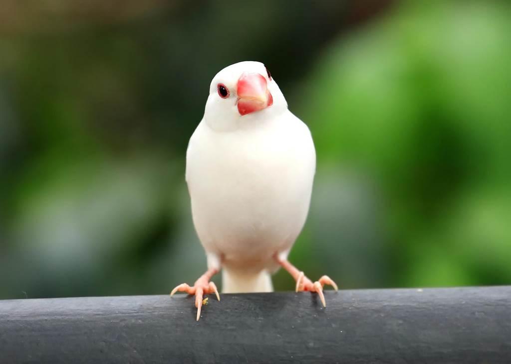 飼主分享白文鳥的照片時,被網友誤會牠躺在煮沸的熱水中。(示意圖/達志影像)
