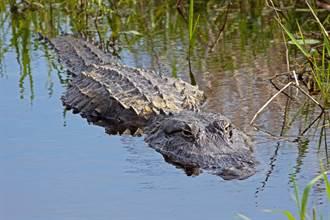 裸男受困鱷魚沼澤 掛樹上嗑蝸牛 警方揭驚人身分