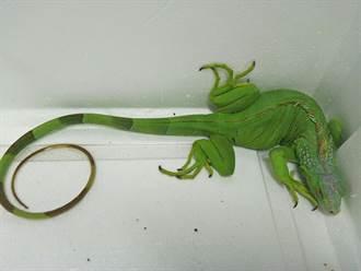 綠鬣蜥花蓮田間作惡 花蓮農業處擬定移除計畫