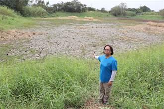 乾旱缺水休耕 水雉棲地受威脅