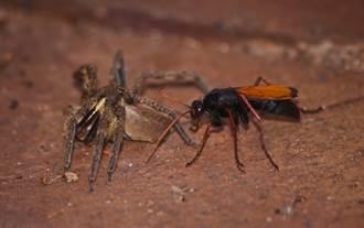 吃飯驚見巨蛛激戰大黃蜂 牠翻肚慘被壓制下場悽慘