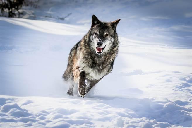 一頭也狼闖入俄羅斯一處牧場中攻擊小狗和馬匹,最終被牧場主徒手毆打致死。(示意圖/達志影像)