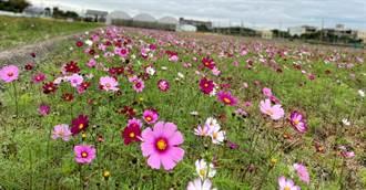 心花朵朵開!彰化縣7鄉鎮市攜手推250公頃花海美景