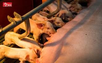 萊豬進口沒在怕》「你吃的豬每3頭有1頭出自這裡」 台灣種豬大王竟是這位53歲宜蘭大叔