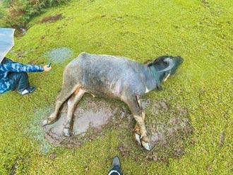 牛群猝死 動保處開罰陽管處7.5萬