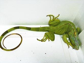 綠鬣蜥現蹤 花蓮繃緊神經