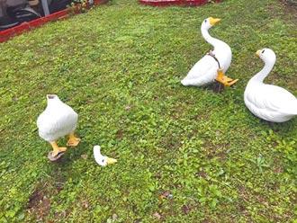 王永慶的鵝 慘遭斷頭斷腿