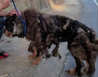 老獒犬不能生被棄養 毛掉光像破布趴路邊 仍選擇信任人