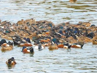 候鳥染禽流感 周邊禽場拉警報