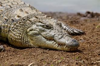巨鱷休息不動被當坐騎 遊客壯膽一摸下秒險變午餐