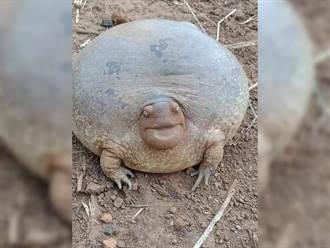 土裡挖出厭世蛙腫成像氣球 見超厚雙下巴網全笑翻