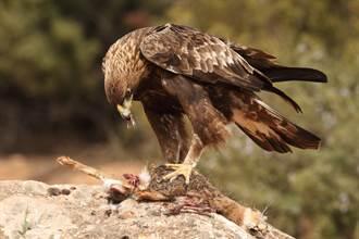 4公雞驚覺小雞恐被吃暴衝 老鷹遭圍攻嚇到鑽縫落跑