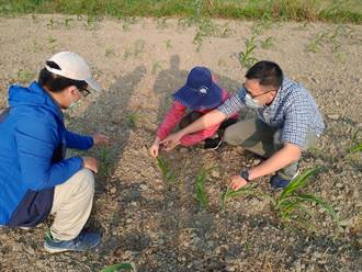 台南硬質玉米、青割玉米受旱災 救助金1月底前完成撥款