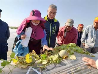 台南北門區洋香瓜受寒害 農業局勘災