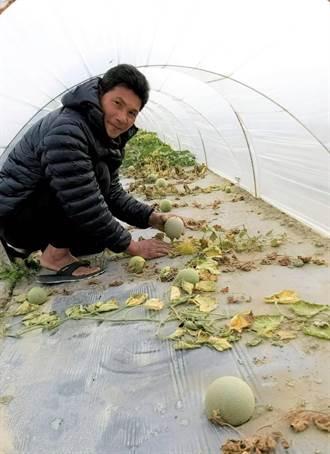 寒災凍死台南虱目魚15萬尾 洋香瓜受害面積逾30公頃