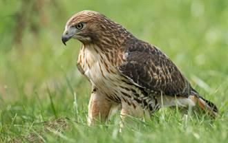 飢餓老鷹霸氣伸爪捉獵物 見怪鴨呆站原地滿頭問號