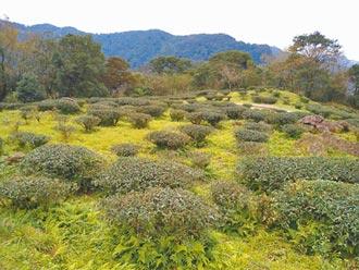凍慘了 三峽茶農憂霜害影響收成