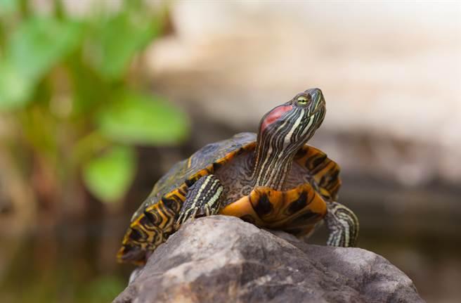 大陸女飼主見寵物龜在零下17度中疑似被凍死,竟打算把牠丟進滾水中煮湯。(示意圖/達志影像)
