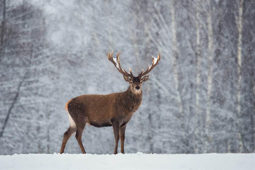有網友在日本北海道看見一頭野鹿頭上的角裡竟頂著另一頭野鹿的斷頭。(示意圖/達志影像)