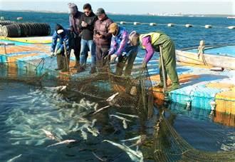 寒害災情 澎湖箱網養殖海鱺幼魚群體死亡
