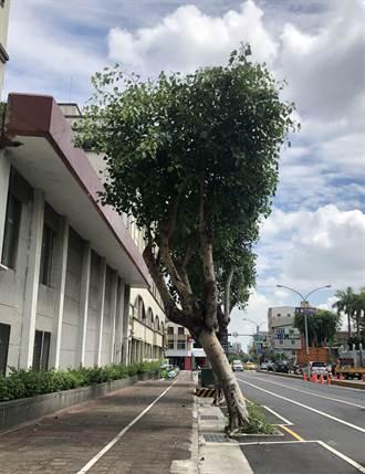 台南南門路、國民路菩提樹林立 安全考量擬春節後移除