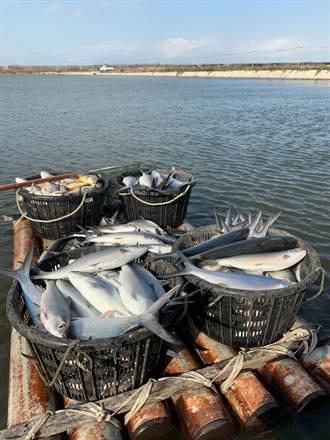 投保虱目魚農業保險3年首度獲理賠 漁民:不太划算