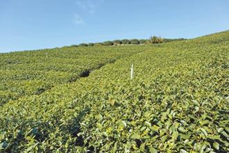 乾旱、低溫若持續 春茶恐減產