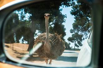 國道上騎車突見旁有巨鳥狂奔 路人全嚇傻