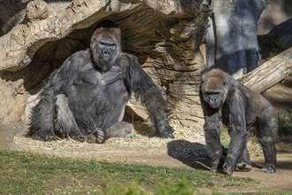 全球首例 美2大猩猩確診新冠肺炎