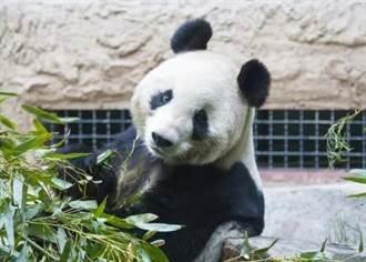 心臟衰竭 北京動物園大熊貓吉妮去世