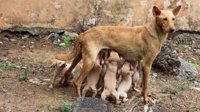 民眾在草叢中發現流浪狗窩,隨即與動物救援組織聯絡,成功將狗狗們救出,但狗媽媽即使受到妥善照顧,卻始終皺著眉頭,原來是牠其中一隻寶寶被偷走了。(示意圖/達志影像)